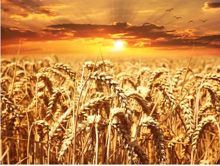 champs-de-blé-terres agricoles
