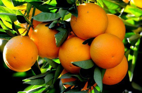 La fin des oranges… Effondrement des récoltes !