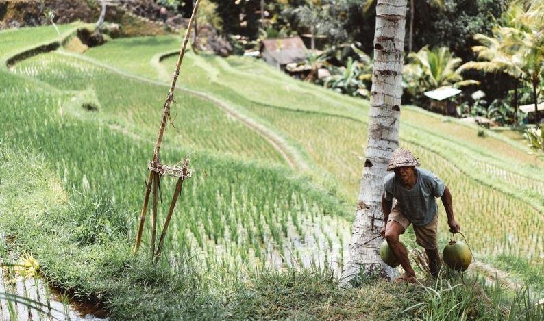 Du «riz géant» pouvant atteindre 2 mètres de haut introduit en Chine
